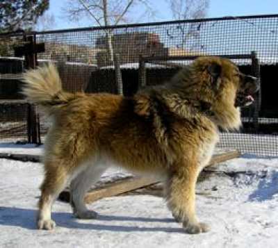 Превосходнейшая собака для охраны пригородного жилища